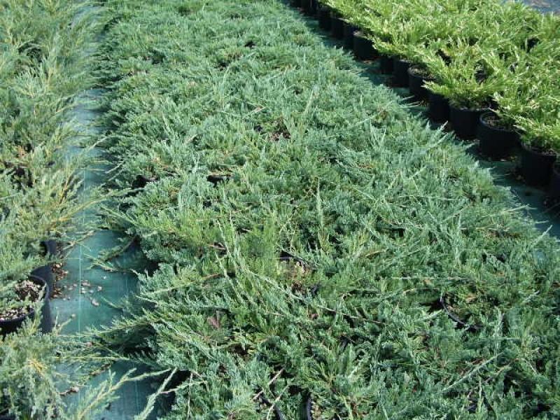 Piante Per Scarpate : Trinci paolo vivai piante da frutto rose
