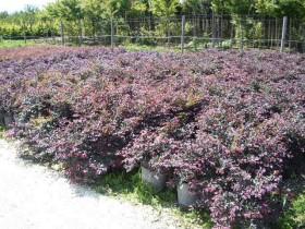 Trinci paolo vivai piante piante da frutto rose for Pianta con foglie rosse