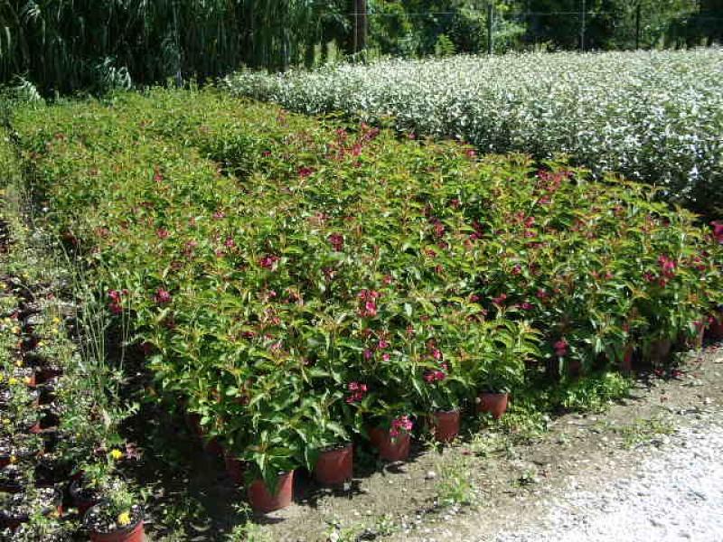 Trinci paolo vivai piante piante da frutto rose for Piante da frutto ornamentali
