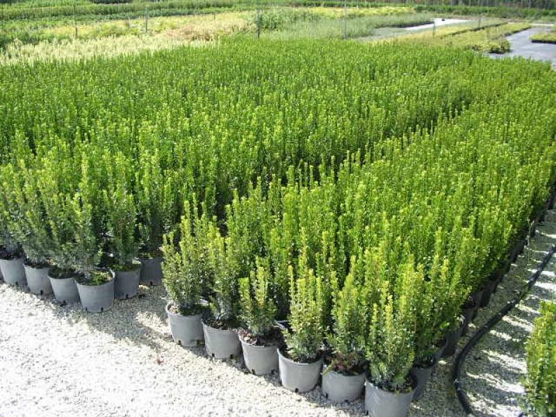 Piante per recinzione pianta per siepi da giardino for Piante da frutto che resistono al freddo