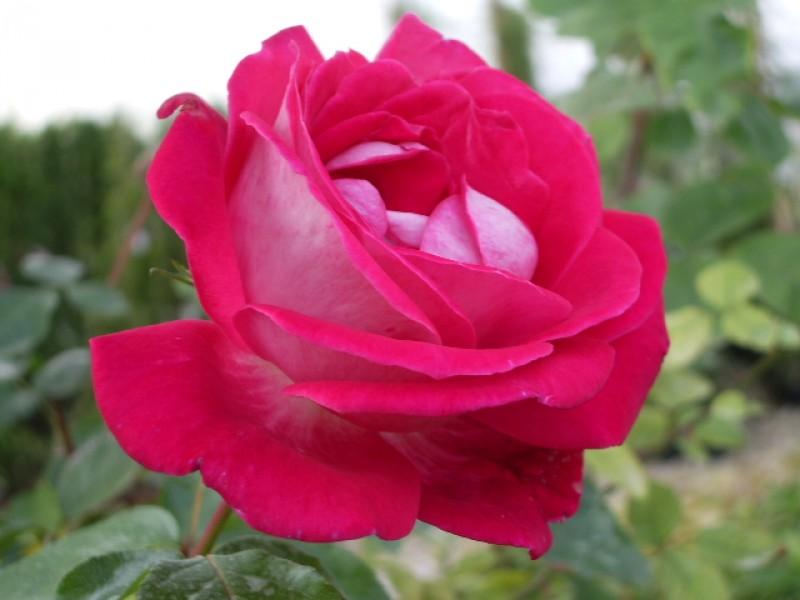 Trinci paolo vivai piante piante da frutto rose for Rose piante